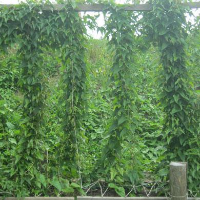 üppig wachsende Blattstränge