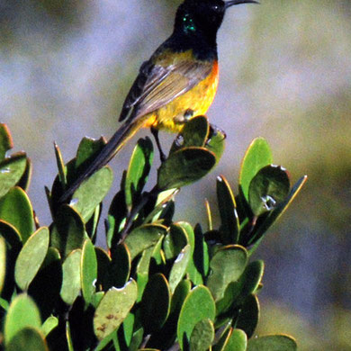 Orange-breasted Sunbird (Anthobaphes violacea)  seen near Lookout between Olifantbos and Cape of Good Hope