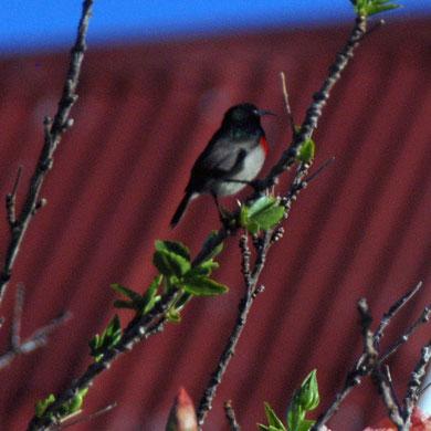 Southern double-collared sunbird (Cinnyris chalybeus)