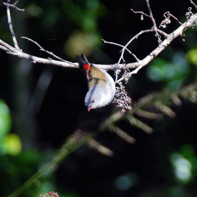 Swee waxbill (Coccopygia melanotis) female, Kirstenbosch Botanical Gardens