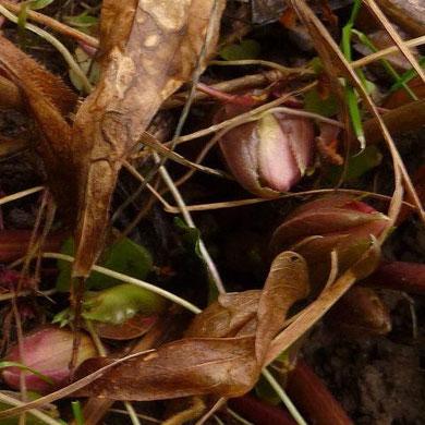 20.01.2012-Helleborus orientalis