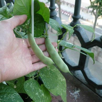 春に植えたインゲンがやっと食べられるようになりました。ほんのちょっとしかないので、みんなでお刺身みたいに大事にいただきます。