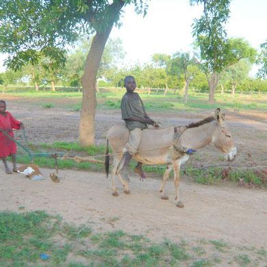 """Une charrue.. très """"rustique"""" !!! Et c'est presqu'un luxe car il faut nourrir l'âne."""