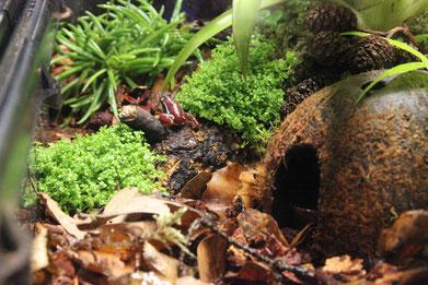 Links und rechts des Frosches ist Hemianthus callitrichoides gesetzt.