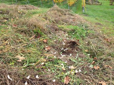 Im Herbst 2015. Knoblauch unter die frisch gemähte Mulchschwade gestreut, Mulch drauf, fertig.