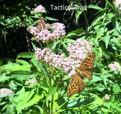 Dieser Schmetterling ist ein Kaisermantel, der oft in Wäldern lebt.