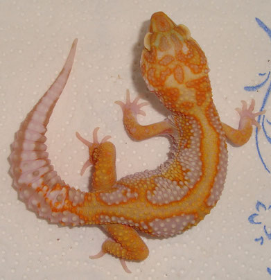 Red Stripe Tremper Albino male