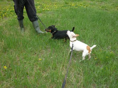 Jack Russel Terrier Mix mit nach Standard kupierter Rute