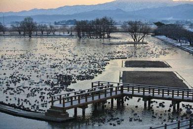 湖面が凍る瓢湖―ハクチョウやカモたちは氷のない水面に