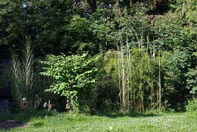 Frühjahr 2015. So viel Regen, das freut die Bambusse ud es gibt viele Bambini.