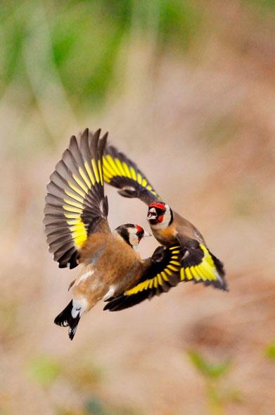 Der Stieglitz - Vogel des Jahres 2016    Foto: RSPB-images.com / Laurie