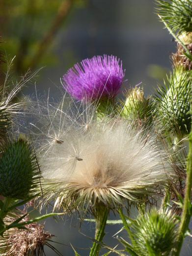 Samen beim Abflug von einer Distel...