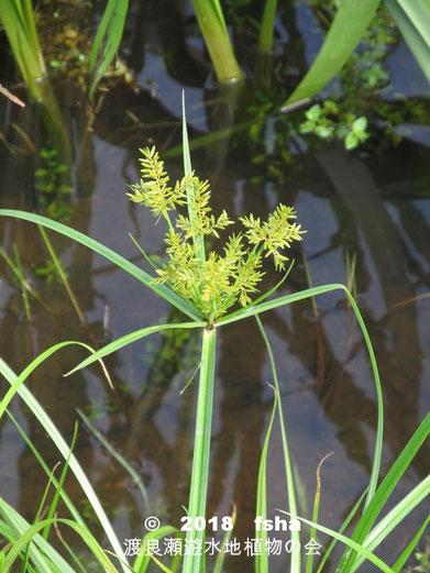 渡良瀬遊水地に生育するカヤツリグサの全体画像と説明文書