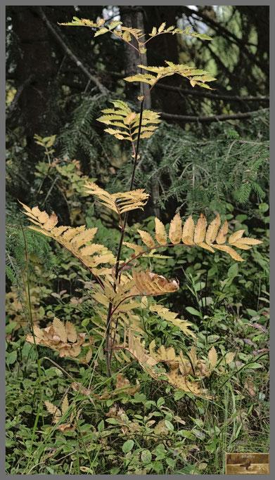 Junge Eberesche in warmen Herbstfarben