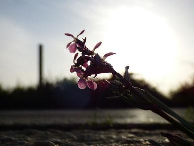 道路のわきに咲いていた小さな花