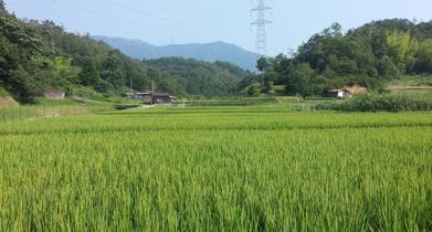 棚田の稲穂の写真