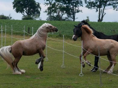 Solche Situationen sollten die Ausnahmen im Alltag der Pferde sein! Foto: A. Kögel