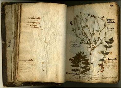 Page de l'herbier de René Marmion, élève de Goiffon avec des annotations de la main du maître