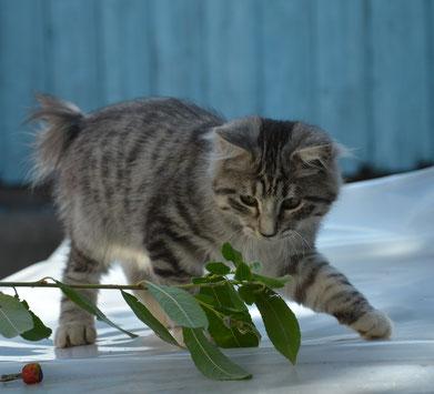 курильский бобтейл, котенок,