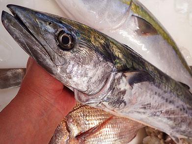 サワラ 船上〆の美味しい魚です。 美味しいお寿司をお届けします!