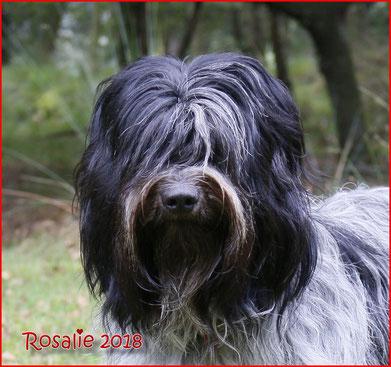 Schapendoes Libertin's Rosalie