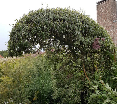 Oudolf Hummelo pyrus salicifolia