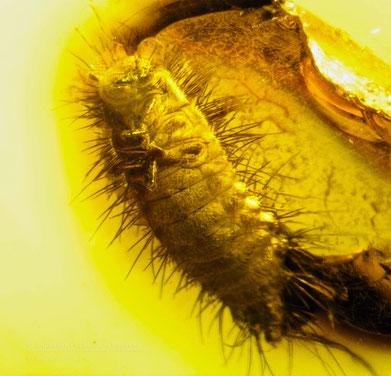 Inclusion in amber: Coleoptera, Dermestidae