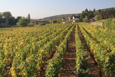 Weinberg im Burgund