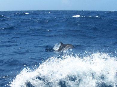 atlantik segeln mit delphin