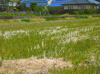 耕転前の稲田