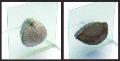 Symmetrieebene: links Muschel, rechts Brachiopode