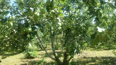夏、リンゴの実はどんどん大きくなっています