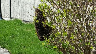 Essaim d'abeilles - Le rucher des plaisirs - Alsace