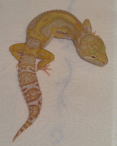 MS Stripe Albino het. Raptor