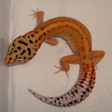 Red Stripe female
