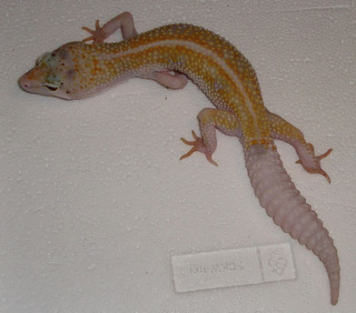 MS Dorsal Stripe Eclipse Enigma