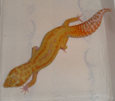 Giant / Super Giant Pastel Red Stripe Raptor female