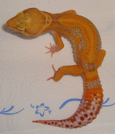 Rainwater Red Stripe Tangerine Albino male