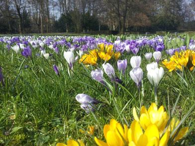 Krokusse im Heilbronner Pfühlpark