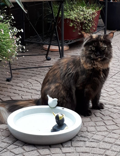 Maine Coon Katze black tortie Leni von Masanti