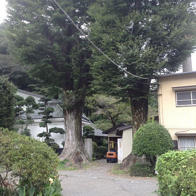 【写真】蔵の入り口にある樹齢400年超のケヤキの木。ずっとここで蔵の歴史を見守ってきた。