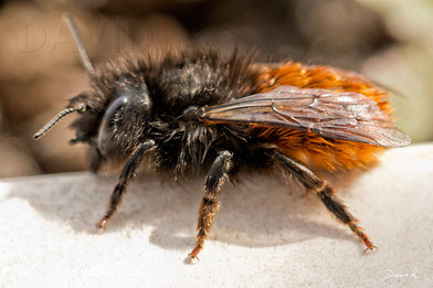 Gehörnte Mauerbiene Osmia cornuta Weibchen