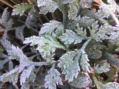 朝車の温度計は-2.5℃!! 霜が降りるはずです。