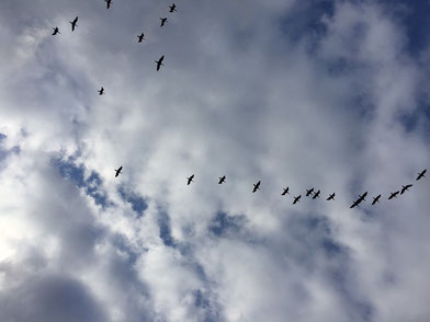 昨日の渡り鳥
