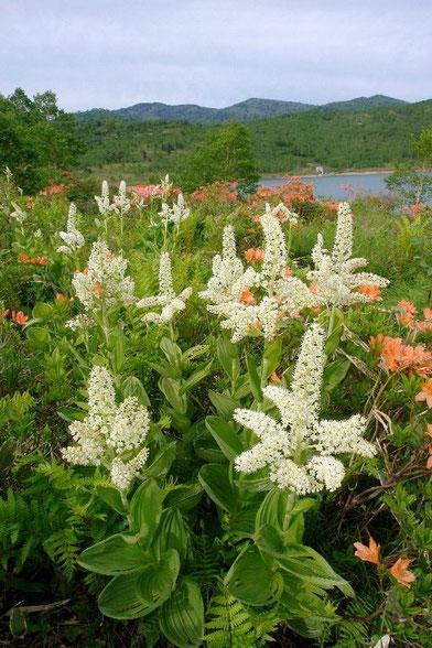 コバイケイソウ (小梅蕙草) 湖畔に咲き乱れる