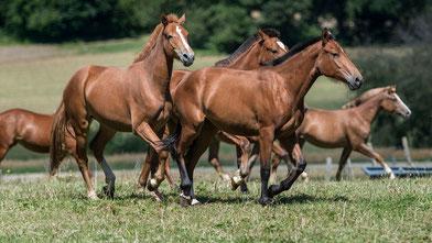 Freiberger, Herde, Zentralschweiz, FM, Pferd, Pferde, Verein, Genossenschaft, Fohlen, Verkaufspferde, Pferd zum Verkaufen, Reiten, Fahren, Freizeit