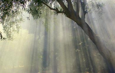 Olivenbaum im Nebel