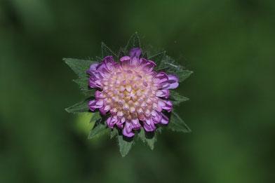 Witwenblume
