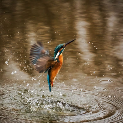Eisvogel, Foto: Robert Balog (pixabay)