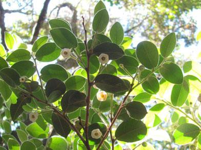 アフリカンツリー 自己認識の木 ブラックバーク